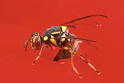 The malaysian fruit fly, Bactrocera latifrons, is native to southern and southeastern Asia.
