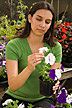 Technician examining petunia flowers