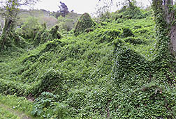 Glen Deven site in CA., carpeted by the invasive Cape-Ivy weed