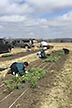 Researchers transplanting red clover plants
