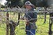 ARS horticulturist, Bernie Prins prunes grapes