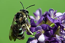 An alkali bee foraging for pollen from an alfalfa flower. Link to photo information