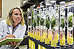 Technician inspects young citrus plants for citrus greening disease symptoms