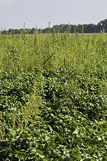 Palmer amaranth in cotton field.