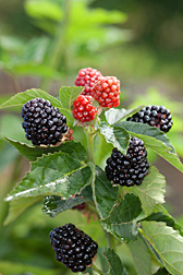 Primocane-fruiting blackberries.