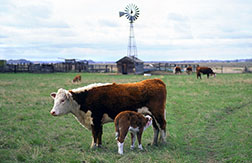 Hereford cow and her nursing calf in a field in Montana