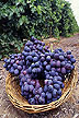 Autumn Royal seedless grapes