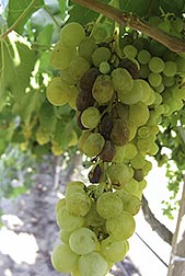 """Sunpreme"" grapes on vine"