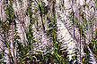 Tasseled sugarcane