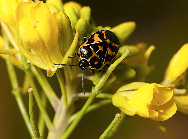 Harlequin stink bug on a mustard plant