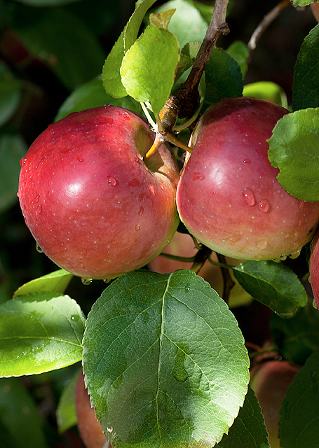 Empire apples hanging from a tree branch with leaves
