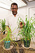 Agronomist inspecting wheat plants grown in biosolid-amended soils.