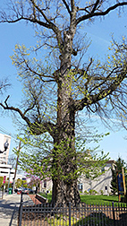 A 200-year-old elm tree in Perth Amboy, New Jersey.  Link to photo information