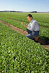 ARS scientist in a field of spinach. Link to photo information