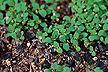 Plantlets of a Hypericum perforatum.