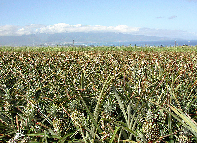A field of pineapples in Maui, Hawaii.