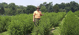 a scientist in a field of Artemisia plants