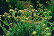 Guayule plants