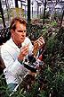 Leafy spurge for biocontrol