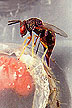 Catolaccus grandis wasp