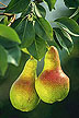 Fire blight-resistant pears