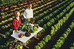 In a field, researchers scrutinizing an array of exotic lettuces