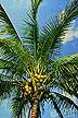 A Manila dwarf coconut palm