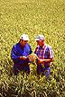 A field of Akita Komachi rice