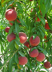 peaches hanging on a peach tree