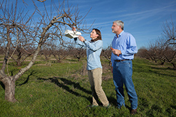 scientists install a pheromone trap on a peach tree