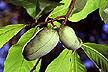 Pawpaw fruit growing on tree.