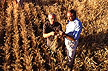 Researchers examine healthy wheat