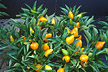 Compact orange pepper plants