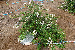 A carbon-sampling device placed beside a crepe myrtle plant measures carbon escaping from the soil. Link to photo information