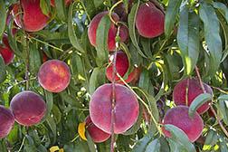 Rich Joy peaches ripening on the tree
