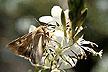 Corn earworm moth.