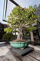 Trident Maple bonsai. Link to photo information