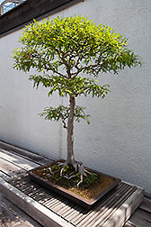 Bald Cypress bonsai tree. Link to photo information