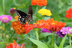 A black swallowtail butterfly sits on top of a zinnia flower