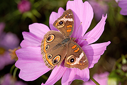 A buckeye butterfly feeds on a pink cosmos flower