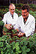 Soybean inoculation with Phytophthora sojae