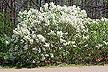 Betsy Ross lilac cultivar