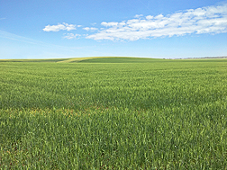 Photo: Soft Svevo durum wheat growing in an Idaho field. Link to photo information
