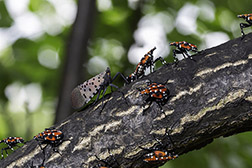 Spotted lanternfly winged adult and 4th instar nymphs