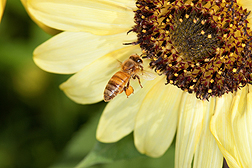 A honey bee buzzes around a sunflower.