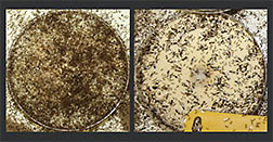 Comparison of uninfected fire ant colony on left and infected colony on right