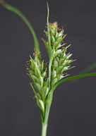 Photo of blue sedge. Credit: Charles Bryson, ARS