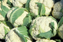 Small photo of cauliflower heads