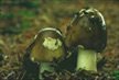 Photo of 2 mushrooms with green mold on them