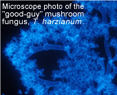 Microscope photo of the good-guy fungus, T. harzianum